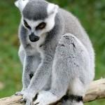 I'm a lemur, she's a lemur…